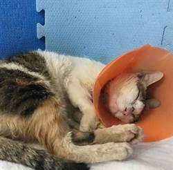 結紮麻醉導致腦部傷害 癲癇貓仍邁大步伐抗病魔