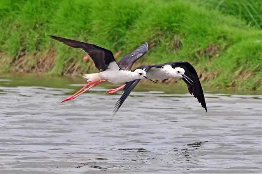 高蹺鴴結伴飛行捕獵。(圖/鄭緯武攝)