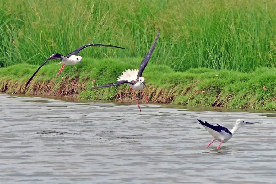 飛行過程中,高蹺鴴搭檔發現同類正在水面上來不及離開,隨即展開攻勢。(圖/鄭緯武攝)
