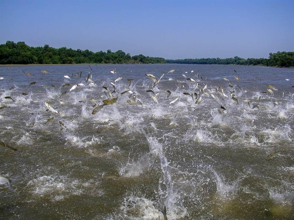 成群亞洲鯉躍出水面的資料照。(達志影像/Shutterstock)