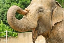 女模遭大象襲胸!比基尼險被吸走