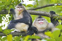 金絲猴林中跳躍 護猴使者永相隨