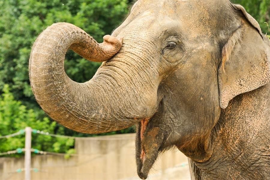 大象示意圖。(圖/達志影像)