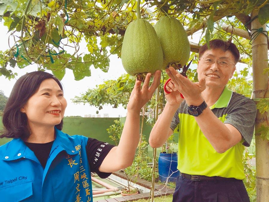 三峽區長陳文俊和鳶山里長周文美採收公所綠屋頂的絲瓜。(陳俊雄攝)