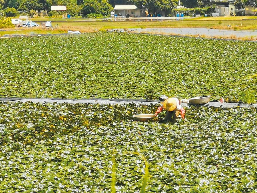 疑因天氣炎熱影響,今年官田菱角生長快速,已有農民開始採收菱角。(劉秀芬攝)