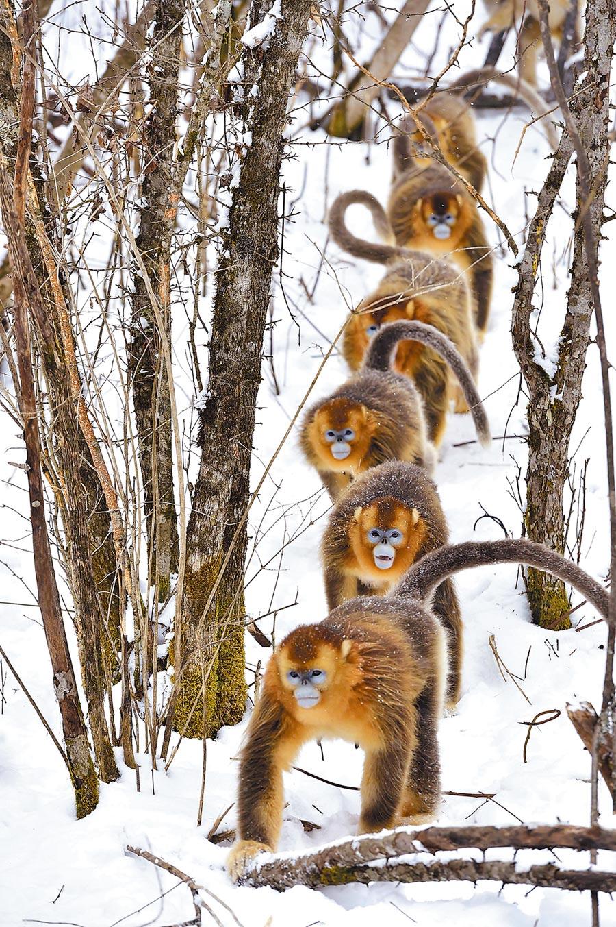 金絲猴在神農架大龍潭山林中行走。(新華社資料照片)