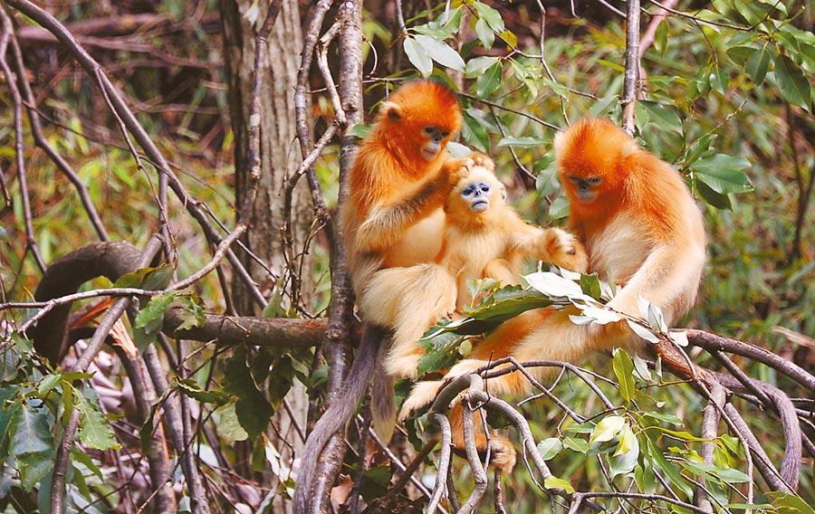 秦嶺的野生金絲猴在陜西佛坪縣熊貓谷內休憩。(新華社資料照片)