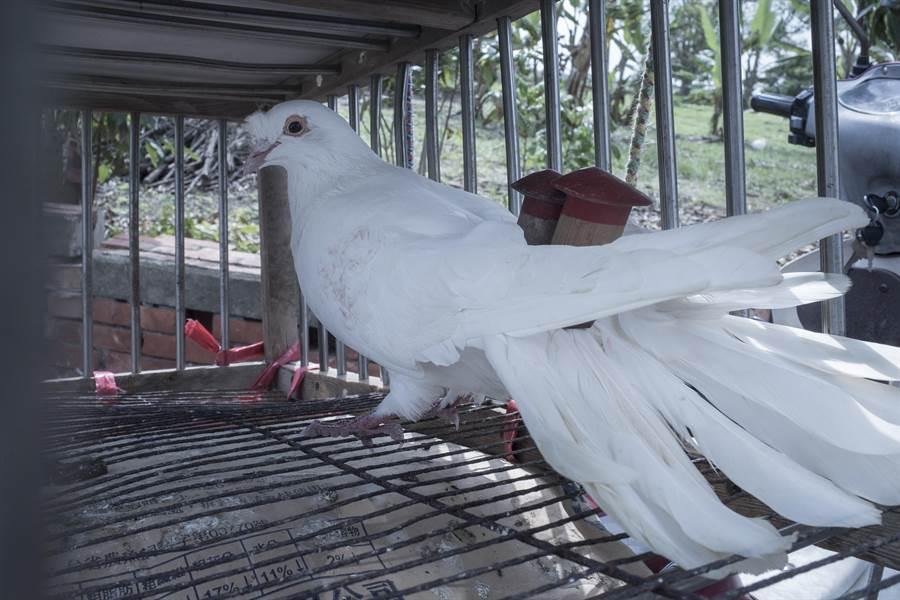 體型龐大的菜鴿。(李立中提供)