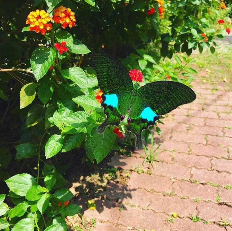 北埔鄉南外社區發展蝴蝶生態為特色,每到夏天,蝴蝶紛飛。(莊旻靜攝)