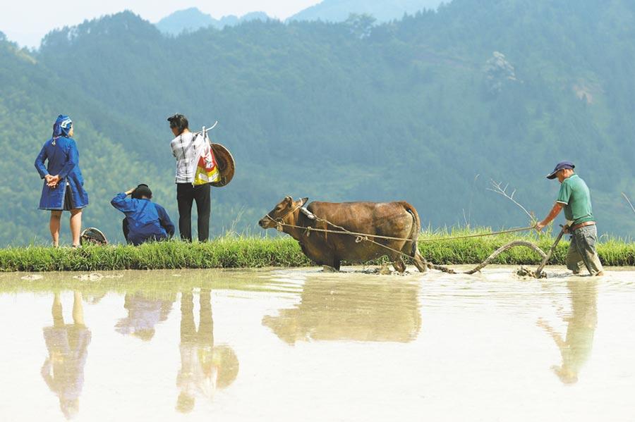 中醫認為,黃牛肉具有補中益氣、滋養脾胃、強健筋骨的功能。(中新社)