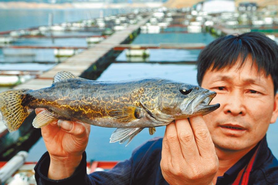 鱖魚味道鮮美,且肉多刺少,富含抗氧化成分。(新華社)