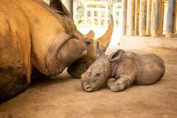 六福村喜迎瀕危雄性白犀牛寶寶 推系列歡慶活動