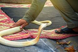 霸氣嬤赤手抓蛇!怎麼被咬都沒事