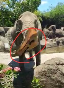 大象神救援撿帽子 北市動物園:民眾別有樣學樣