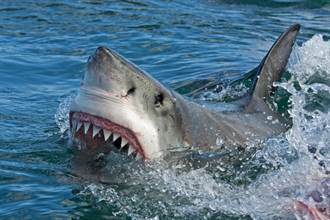 鯊魚用浮木抓癢?細看揭罕見真相