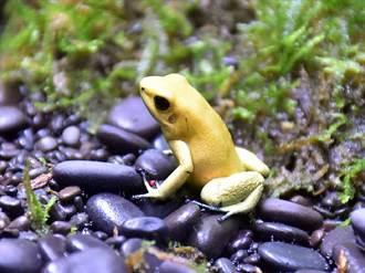 箭毒蛙有藍、有黃!動物園「蛙爸爸」成功繁殖護生態