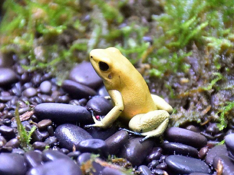動物園的箭毒蛙,曾面臨數量不足、繁殖狀態不佳等危機(金色箭毒蛙)。(台北市立動物園提供)