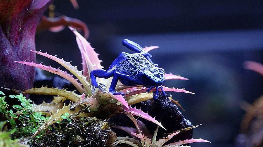 經過多年的自我磨練,楊志平的箭毒蛙繁殖技術在亞洲可說是數一數二(鈷藍箭毒蛙)。(台北市立動物園提供)