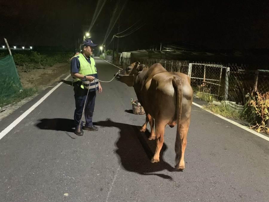 1頭大黃牛日前在燕巢區鳳龍巷內閒晃,岡山警員將牛牽回農田,確保用路人的安全。(林瑞益翻攝)