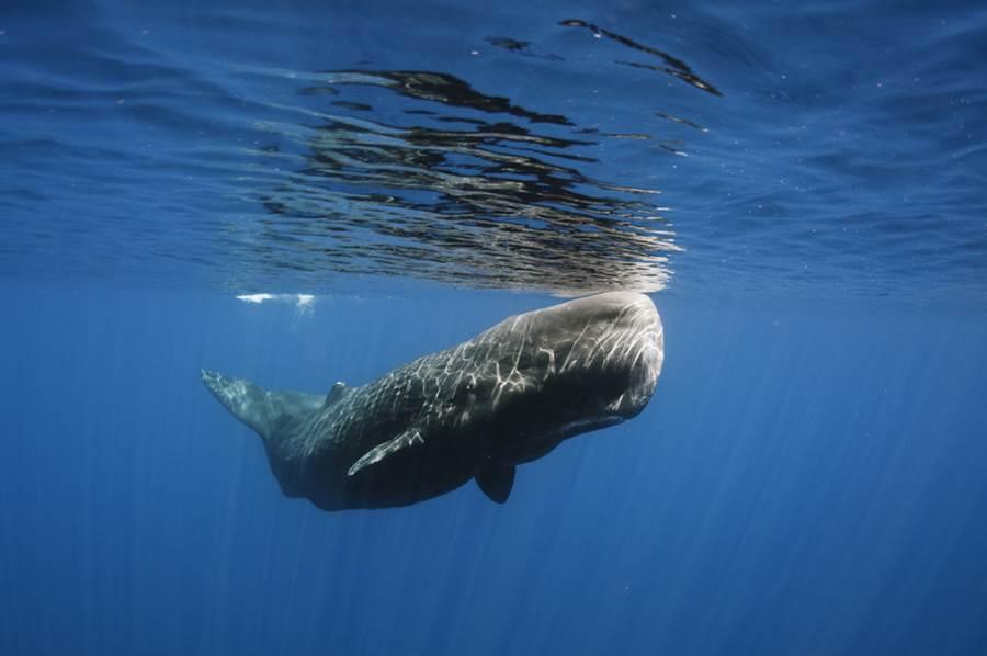 製作鯨魚標本 肚內血肉模樣曝光(圖片取自/達志影像)