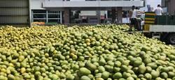 麻豆農會收購文旦大果 爆量50萬台斤