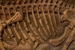恐龍化石被誤判30年 專家驚:新品種