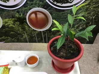 首支本土原生山茶! 「台茶24號」再現冰河時期風味