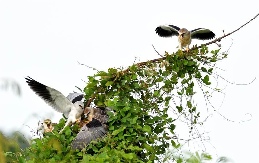 親鳥這次帶回的早餐是棕三趾鶉。(莊哲權攝)