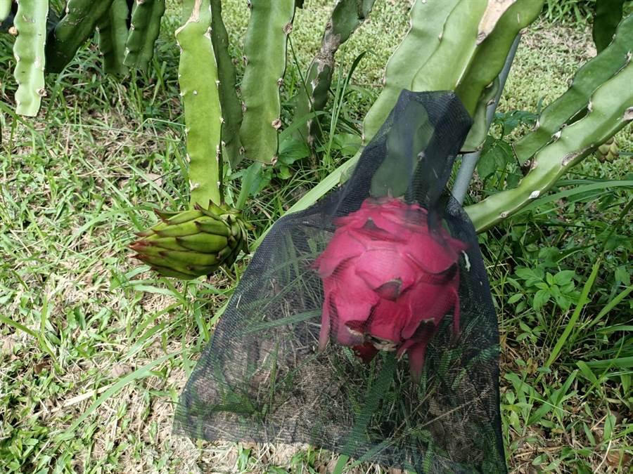 嘉義果農蔡銘旺表示,因不使用農藥,故花開後,必須每天巡視果園,並將果實套紗網,避免蟲來啃食。(張毓翎攝)