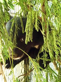 廣原小熊10天等嘸媽媽 台東林管處先照養1歲後再野放