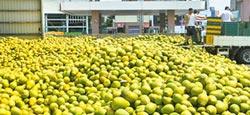 麻豆農會收購文旦大果 爆量