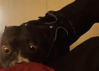 不是比特犬是美國惡霸犬!咬傷母子飼主遭罰1萬5