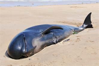 獵鯨活動血染大海 剖母屍肚取小鯨