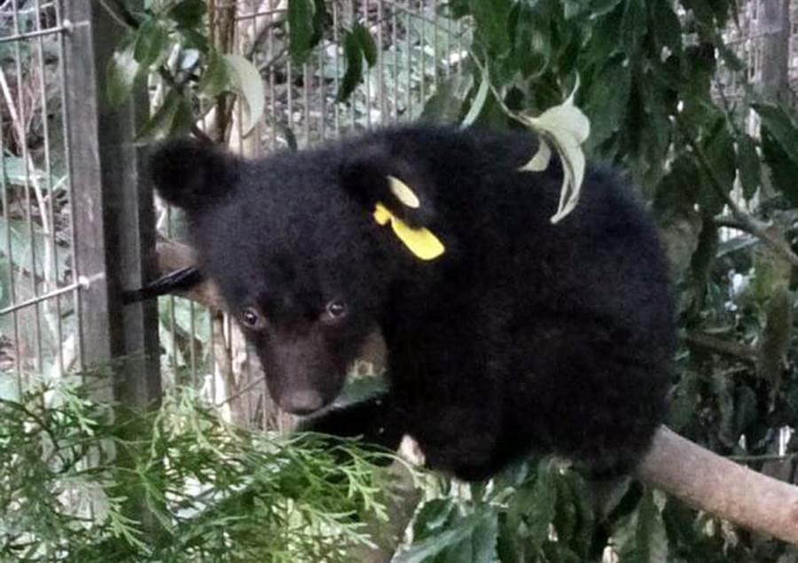 廣原小熊活動力好,經常爬上爬下。(台東林管處提供)