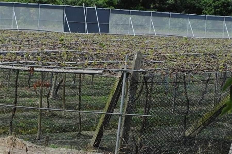 颱風來襲,中區農改場籲請農友在果園迎風面可設立防風網,並加強枝條固定,減少風害損失。(農改場提供)