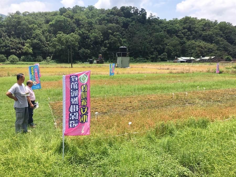 苗栗農改場在示範田區進行前期湛水、使用新型除草劑等技術,觀察抑制雜草的成效。(巫靜婷攝)