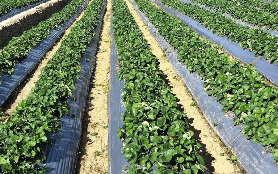 草莓觀光果園畦溝鋪置稻殼與草莓畦敷蓋塑膠布防雜草技術。(苗栗縣政府提供)