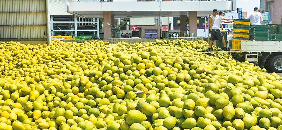 麻豆農會收購文旦大果,10天下來總計收購150萬台斤的大果文旦,超過原先100萬台斤的預定收購量。(劉秀芬攝)