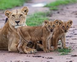 動物園母獅產子 3天後發狂吃寶寶