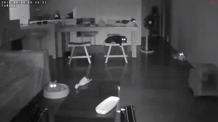 十秒前感應強震!8貓抬頭像探照燈(圖/臉書粉專「小跑貓嗚嗚」授權提供)