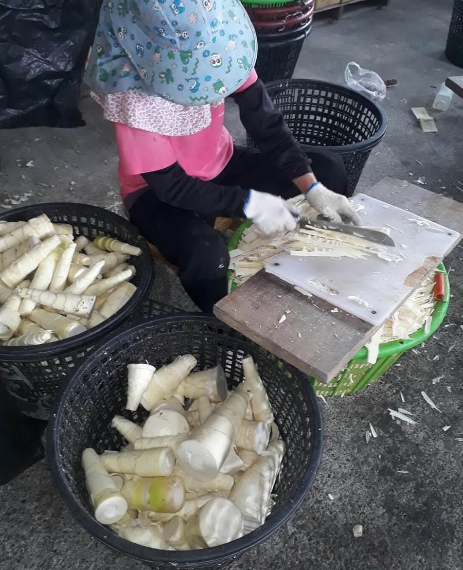 今年麻竹筍價格不振,繼帶殼麻竹筍後,農委會擴大去殼麻竹筍保價收購作業,因為得先以人工去殼,收購價格每公斤最少12元。(許素惠攝)