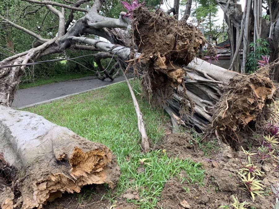 后里3棵老榕從根部斷裂,移因病害腐朽,加上利奇馬帶來的風勢,突然應聲倒塌。(王文吉攝)