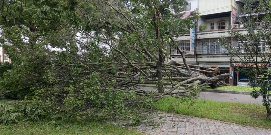 后里3棵老榕往公園方向倒塌,閃過土地公廟,幸好未造成人車損傷。(王文吉攝)