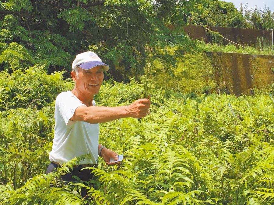 台中石岡黃富貴種植號稱不怕颱風的「過貓菜」,受惠於潔淨湧泉及潮溼環境,油綠綠嫩葉長得茂密。(王文吉攝)