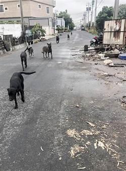 和美流浪犬大街 數十條狗霸街嚇人