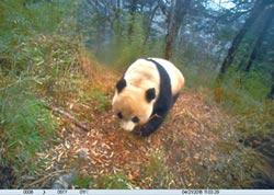 大熊貓教父胡錦矗 保育半世紀