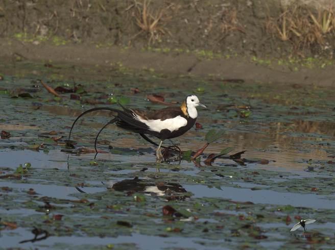 今年度的水雉夏季繁殖調查,發現水雉族群數量穩定成長,數量達1024隻,首次於夏季超過1000隻。(蘇仁德提供)