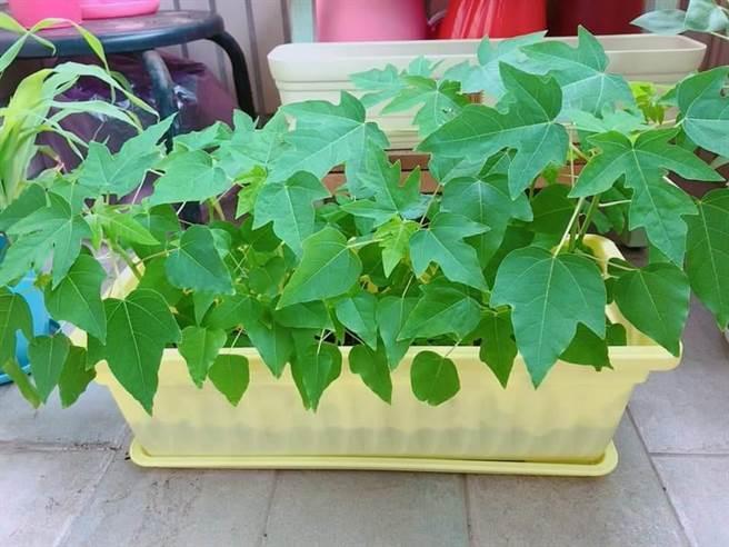 種了草莓卻長出一盆木瓜。(翻攝自《爆怨公社》)