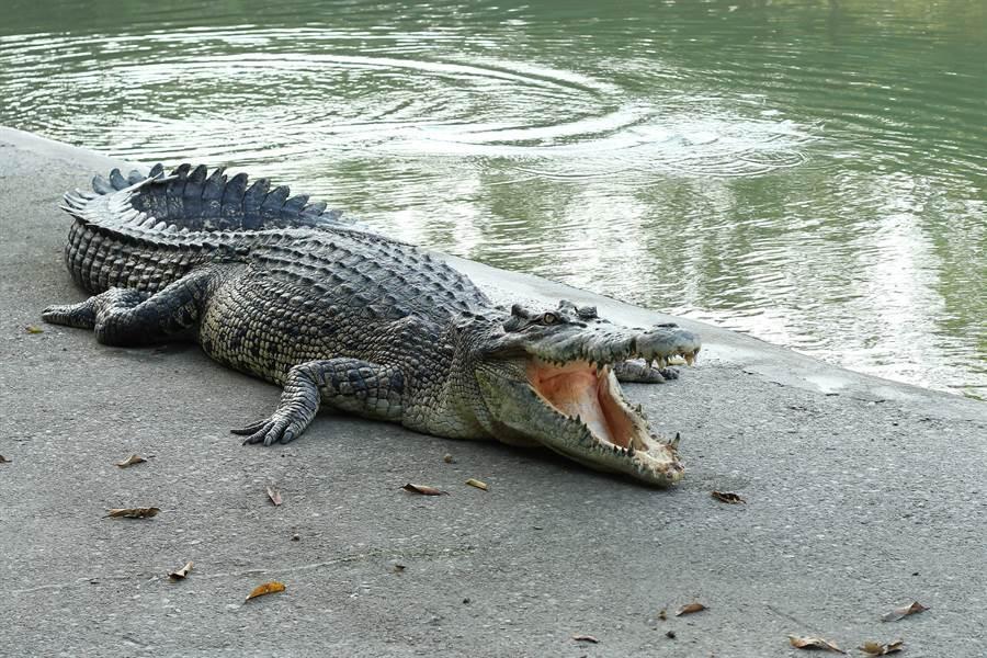 假鱷魚混入蛋堆 竟錄下恐怖一幕(圖片取自/達志影像)