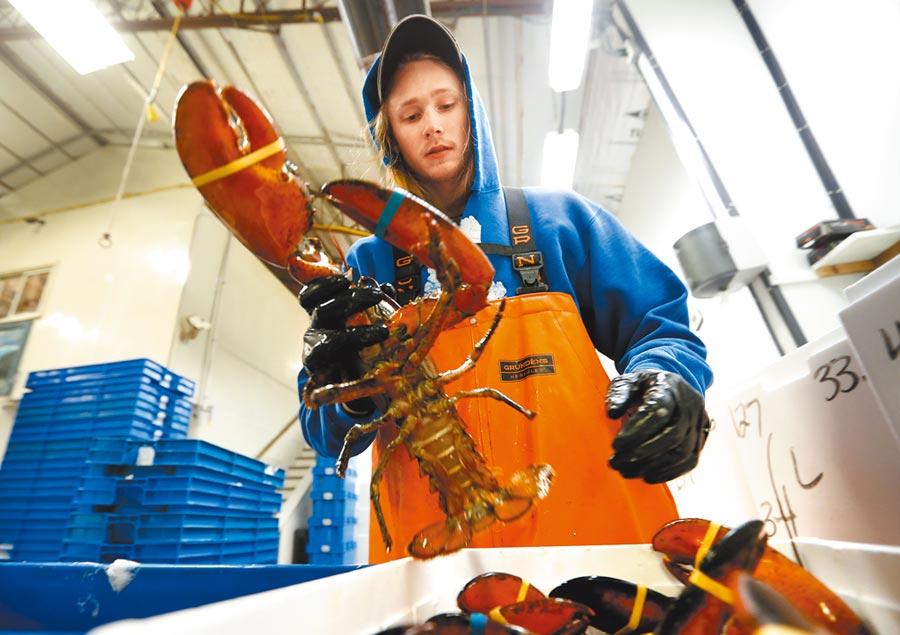 圖為美國一間龍蝦批發公司員工,正在包裝準備運往香港的活龍蝦。(美聯社)